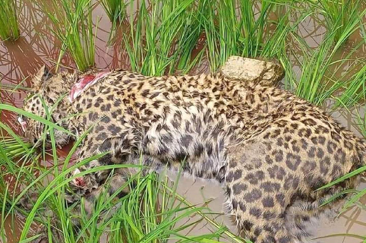 death leopard