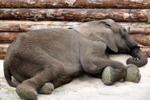sleep elephant