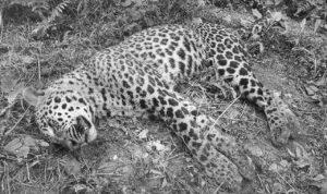 Tanahu chitwan leopard