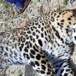 dead leopard