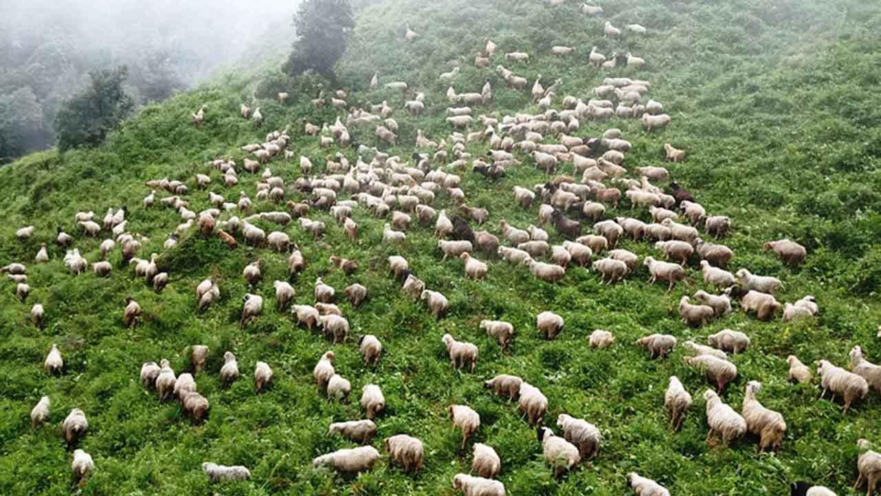 Magdi bhedigoth sheep