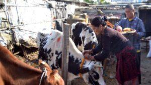 cow tihar
