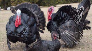 turkey palan