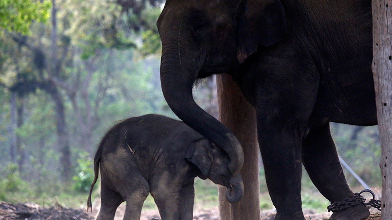 elephant love hatti prem