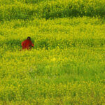 mustard tori