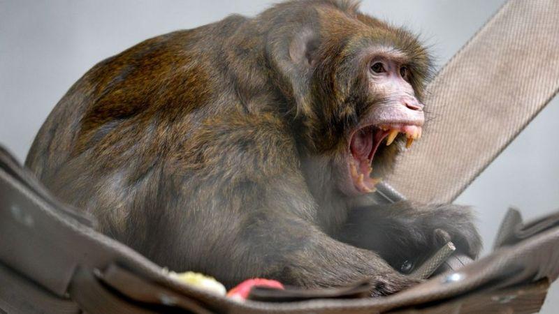 Monkey B Virus